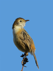 CISTICOLA GOLDEN-HEADED_50