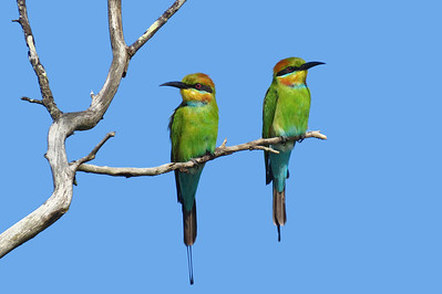 BEE-EATER RAINBOW PAIR_03