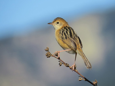 CISTICOLA GOLDEN-HEADED_45