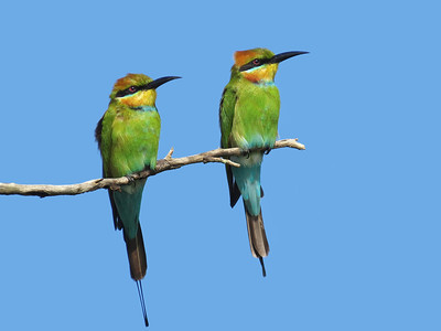 BEE-EATER RAINBOW PAIR_04