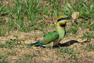 The appropiately named Rainbow Bee-eater, digs a tunnel up to a meter long, to a cave nest, below the sandy surface. This image shows the adult bringing morsels back to fed what was then quite advanced chicks.