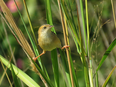 CISTICOLA GOLDEN-HEADED_59