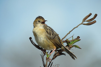 CISTICOLA GOLDEN-HEADED_61