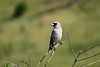 WOODSWALLOW BLACK-FACED_07