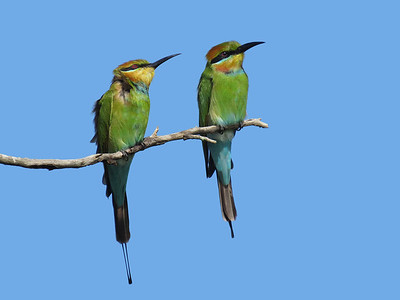 BEE-EATER RAINBOW PAIR_02