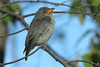 MISTLETOEBIRD CHICK_12