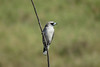 WOODSWALLOW BLACK-FACED_05
