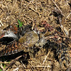 This are the remains of a Buff-banded Rail, that was found under the Black Falcon roosting tree.