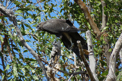 One of the four Black Falcon fledglings, having just landed on a tree some hundred m away from the nest tree, on its maiden flight. It stayed there for over a hour before it plucked up enough courage to fly back to the nest.