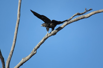 The maiden flight of the fledgling Black Falcon, to a very closeby dead tree. The youngster had a difficult time in the gusty wind, as you can see on the images.