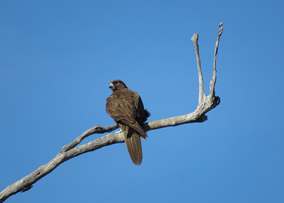 The female Black Falcon on the roost tree, right next to the nest tree. She was keeping a very close eye on the four chicks on the nest as they were on the very point of fledging.