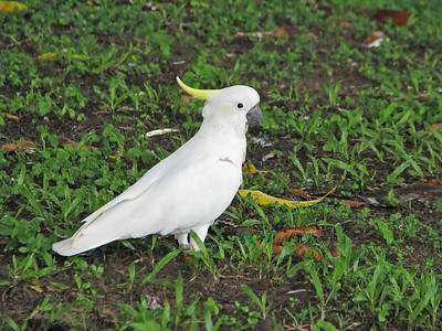 COCKATOO SULPHUR-CRESTED_13