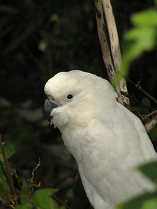 COCKATOO SULPHUR-CRESTED J_05