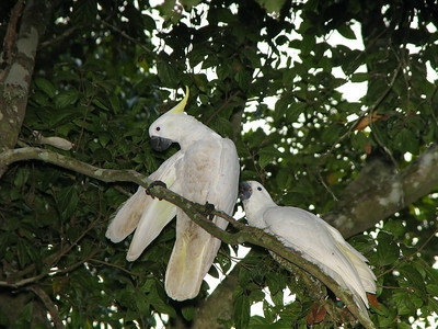 COCKATOO SULPHUR-CRESTED_07