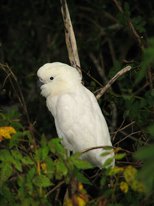 COCKATOO SULPHUR-CRESTED J_03