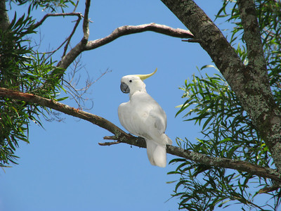 COCKATOO SULPHUR-CRESTED_20
