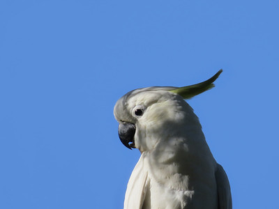 COCKATOO SULPHUR-CRESTED_27