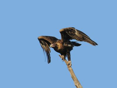 EAGLE WEDGE-TAILED_19_05