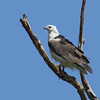 SEA-EAGLE WHITE-BELLIED_10