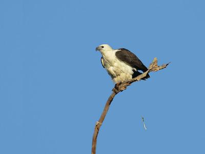 SEA-EAGLE WHITE-BELLIED_04