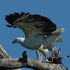 The White-bellied Sea Eagle, with a just killed Coot. We actually saw the kill and drove the punt closer, to get this image.