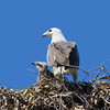 SEA-EAGLE W-B NEST T_04