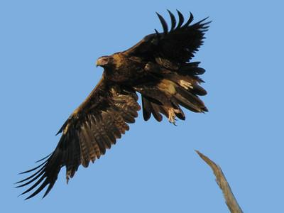EAGLE WEDGE-TAILED_19_06