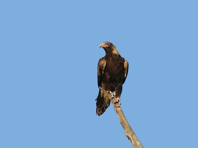 EAGLE WEDGE-TAILED_19_01