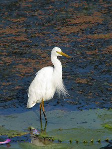 EGRET INTERMEDIATE_24