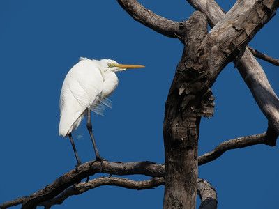 EGRET GREAT_65