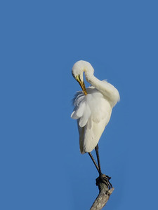 EGRET GREAT_76