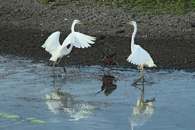 EGRET GREAT_20