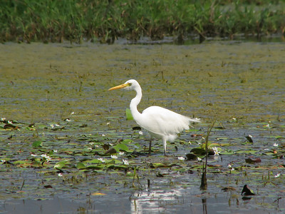 EGRET INTERMEDIATE_60