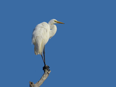 EGRET GREAT_75
