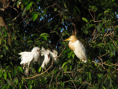 EGRET CATTLE_22
