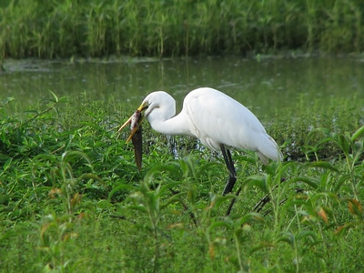 EGRET GREAT_25