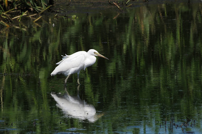 EGRET LITTLE J_01