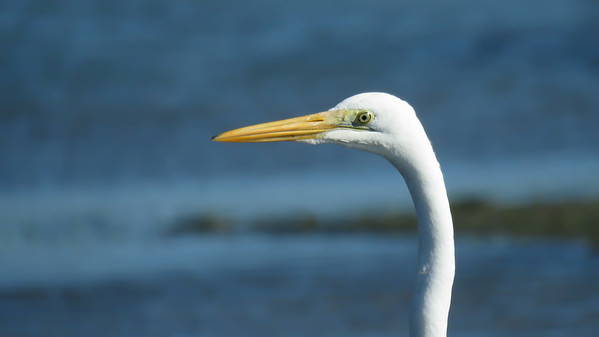 EGRET GREAT_85