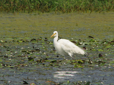 EGRET INTERMEDIATE_63