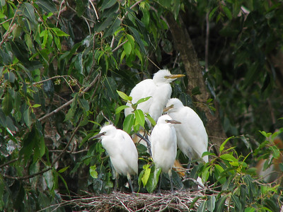 EGRET CATTLE_31