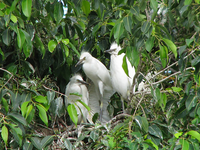 EGRET CATTLE_32