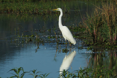 EGRET GREAT_87