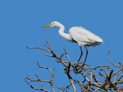 EGRET INTERMEDIATE_75