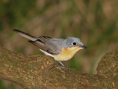 FLYCATCHER LEADEN F_09