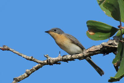 FLYCATCHER LEADEN F_27