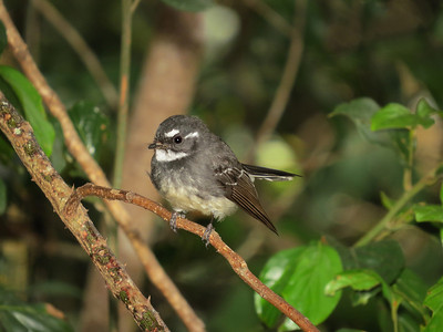 FANTAIL GREY_14