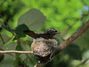 WAGTAIL WILLY_38