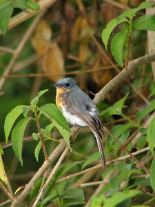 FLYCATCHER LEADEN F_13