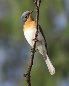 FLYCATCHER LEADEN F_34