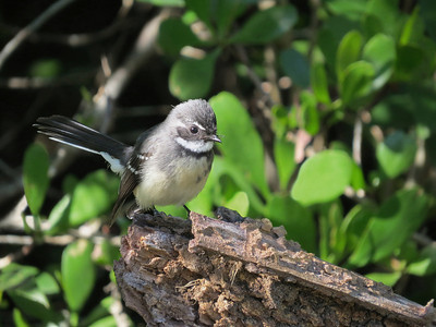 FANTAIL GREY_19